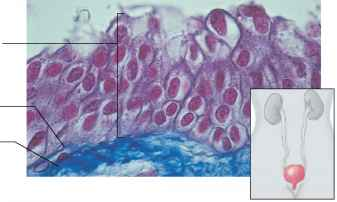 Unstretched Transitional Epithelium