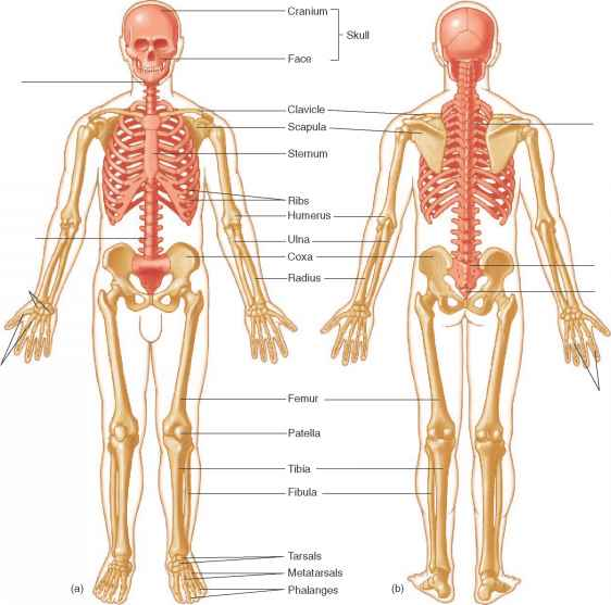 skeletal system critical thinking questions