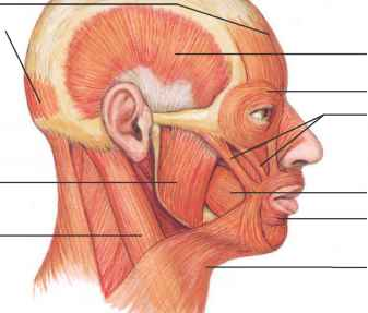 Skeletal Muscles Posterior Scalp