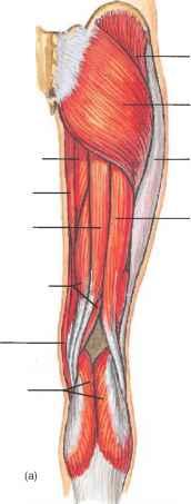 Biceps Femoris Long And Short Head
