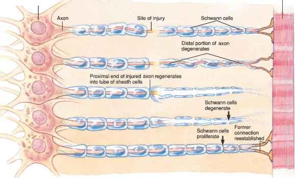 Regeneration of neurons