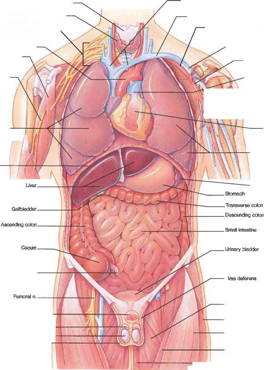 Human Diaphragm - Blood Vessels - GUWS Medical
