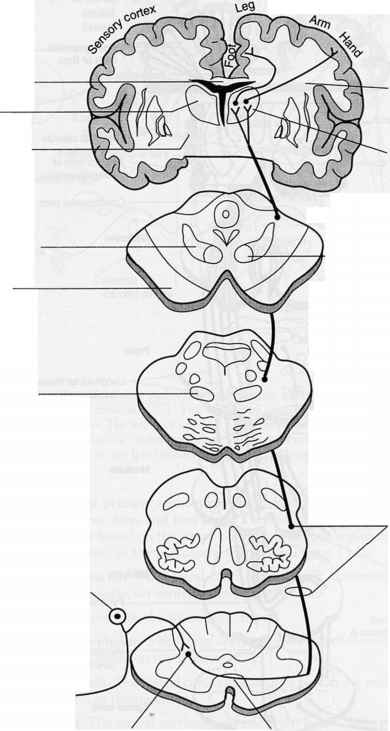 Dorsal Columnmedial Lemniscus Pathway Figure 72 See Also