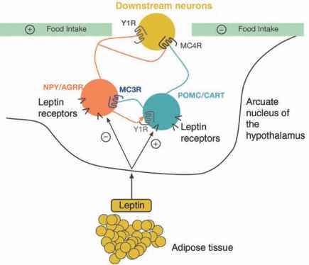 Mice Leptin Deficiency