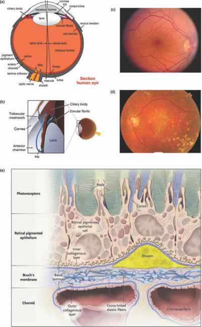 Fovea Blood Pressure