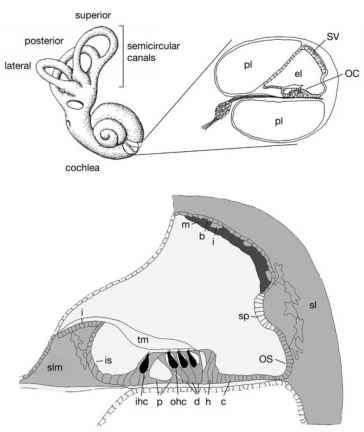 Cochlea Cross Section