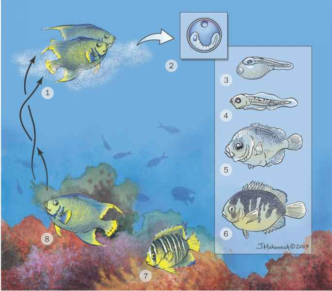 Reproductive biology feeding ecology guws medical for Fish life cycle