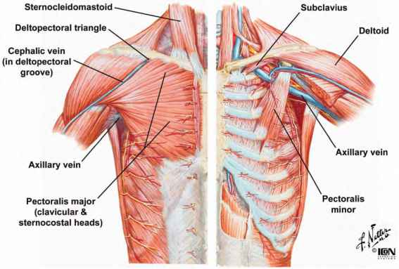 muscles of the thoracic wall - heart failure - guws medical, Cephalic Vein