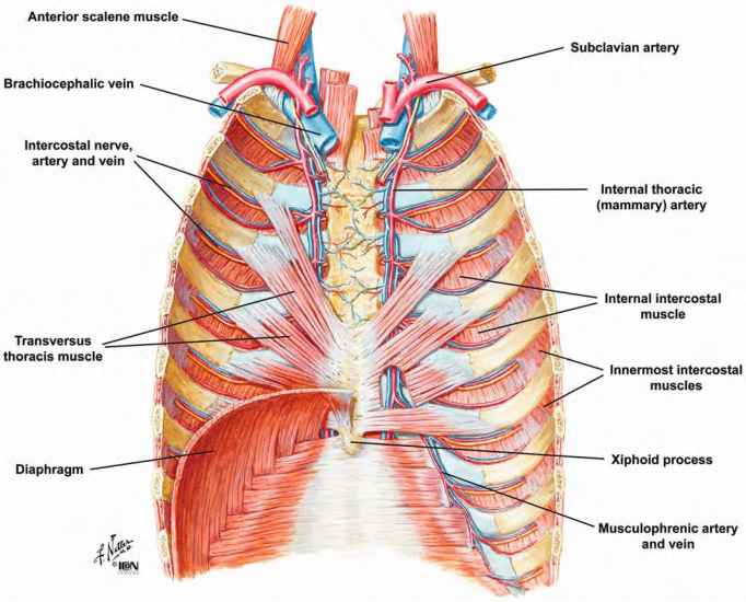 Muscles Of The Thoracic Wall Heart Failure Guws Medical