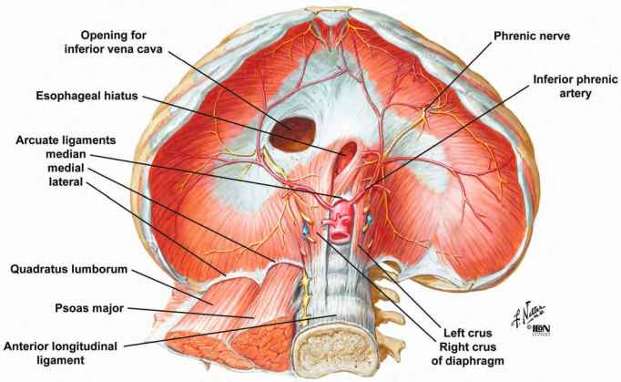 Diaphram And Its Origins