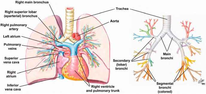 of the lung  left  and the branching pattern of the bronchi  rightSecondary Bronchi Labeled
