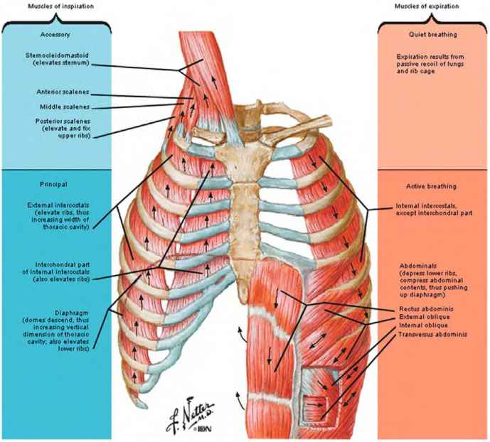 Sternal Angle Surface Anatomy