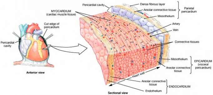 d from which of the three layers of the heart did the tissue used to make your slide originate Learn the three types of muscle tissue in the body, cardiac, smooth the heart wall consists of three layers: epicardium, myocardium, and endocardium.