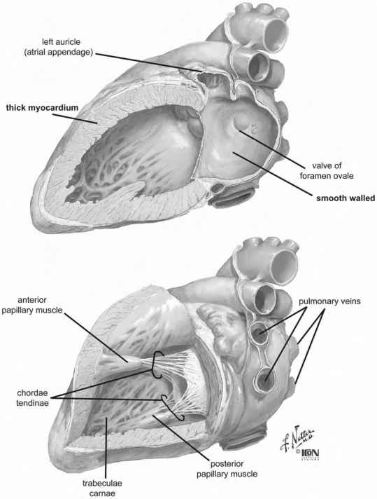 Left Atrium Internal Anatomy