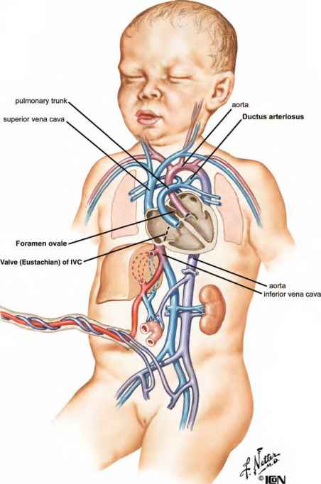The Fetal Heart - Heart Failure - GUWS Medical