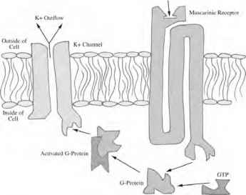 Afferent Fibers Parasympathetic Nervous