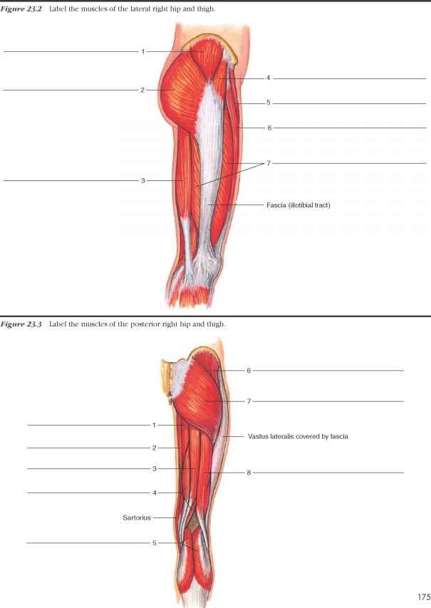 Labeling Leg Muscles Human Anatomy Guws Medical
