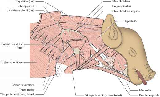 Shoulder Anatomy Deltoid Insertion
