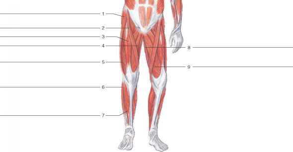Human Anatomy Muscles Identified
