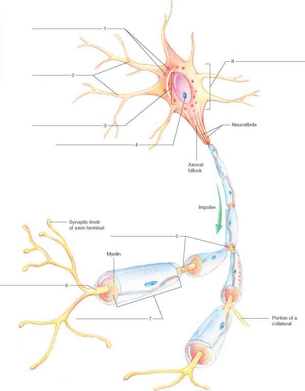 figure 25 2 label the features of the myelinated nerve fiber
