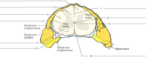 Procedure Bstructure Of The Spinal Cord - Human Anatomy ...