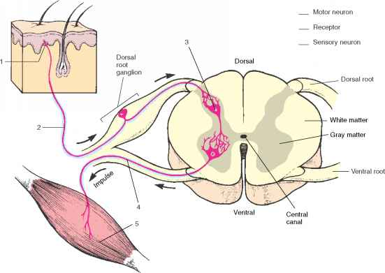 Hermaphrodite Parts Pictures On Humans - Human Anatomy - GUWS Medical