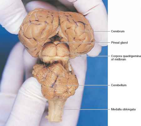 Hypothalamus as well Full as well Conditions Radiosurgery Radiosurgical Management Of Skull Base Tumors as well Mixed Martial Arts Fighter Battles Acromegaly additionally Stock Illustration Pituitary Gland Medical Illustration Its Position Image45045593. on pituitary brain