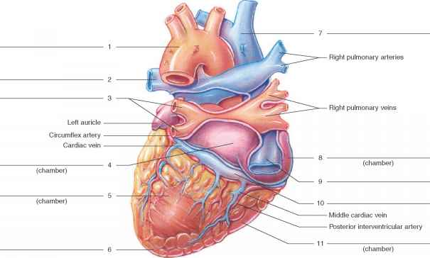 Posterior Heart Model Labeled Parts – images free download