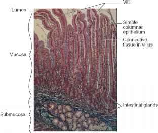 Procedure Esmall And Large Intestines - Human Anatomy ...