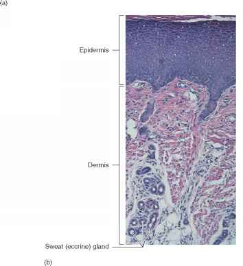 Human Skin Under Microscope Labeled