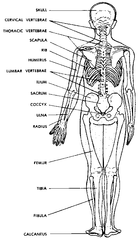 the axial skeleton - human body