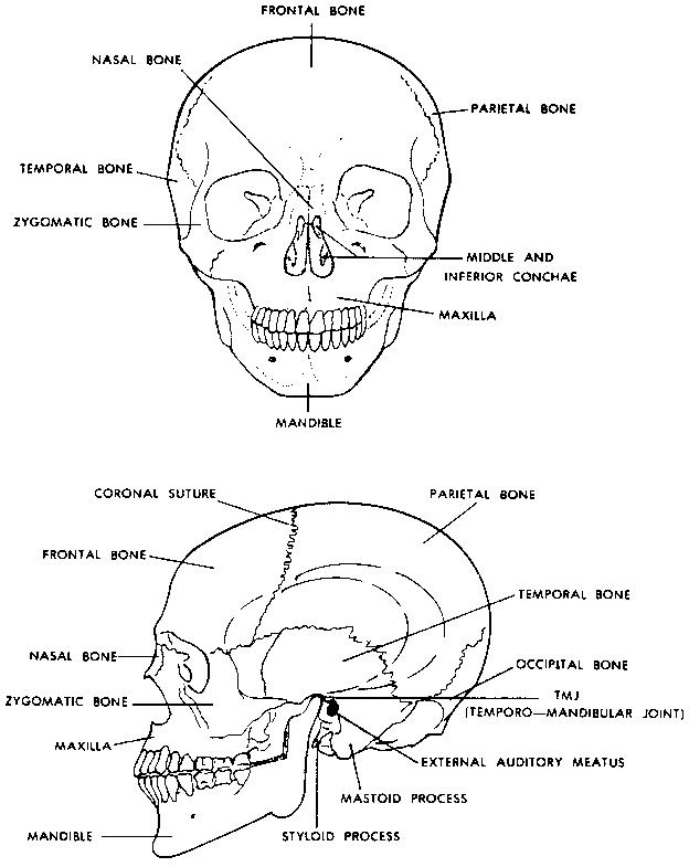 the axial skeleton - human body