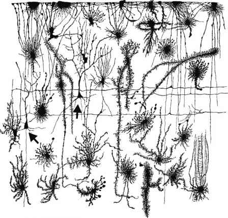 Cajal Spinal Cord Anatomy