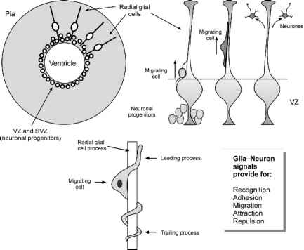 Glial Cell Migration