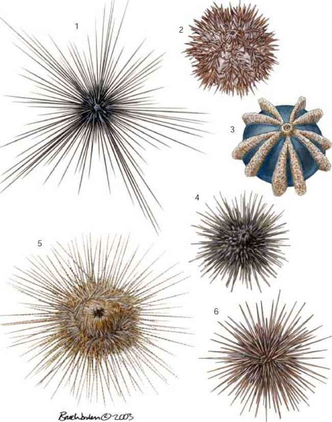 Sea Urchin Wounds