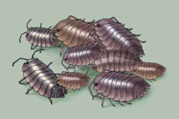 Pillbugs Bunching