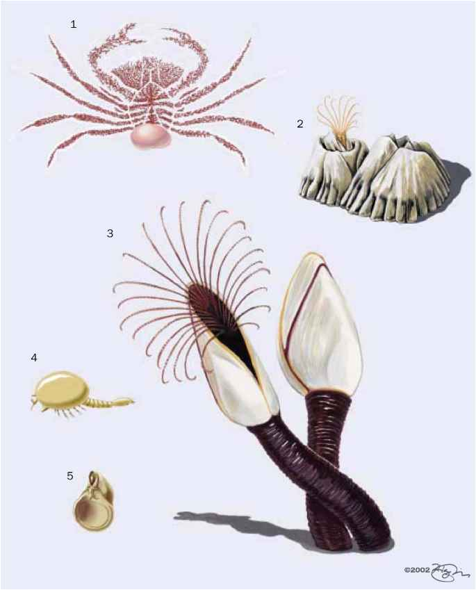 Anatomy Goose Barnacle