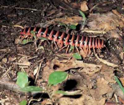 Foot Millipede
