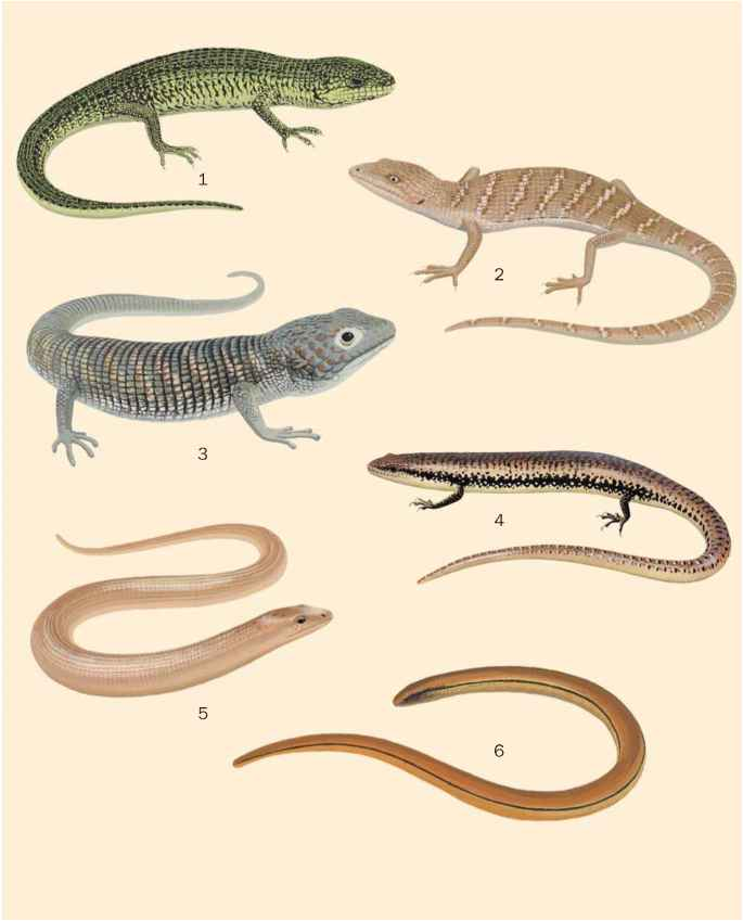 Alligator Lizards