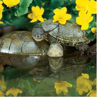 European Pond Turtles