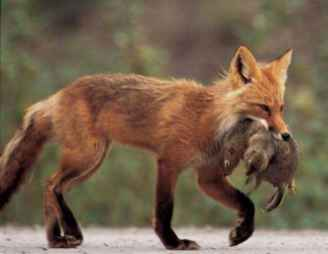 Red Fox Eating Prey