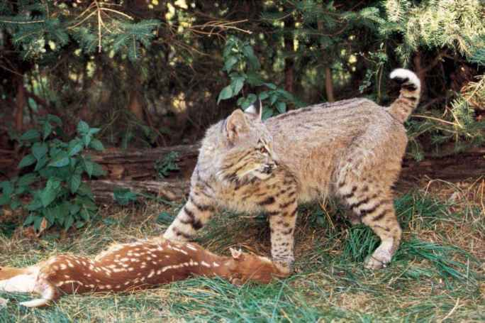 Bobcat White Tail