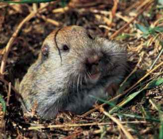 Gopher Species California
