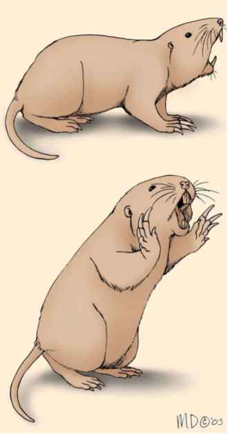 Pocket Gopher Illustration