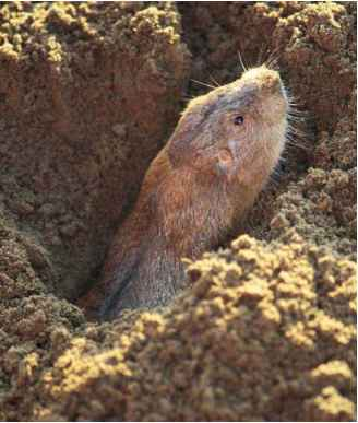 Iowa Mammals Plains Pocket Gopher