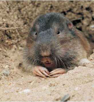Pocket Gopher Burrow