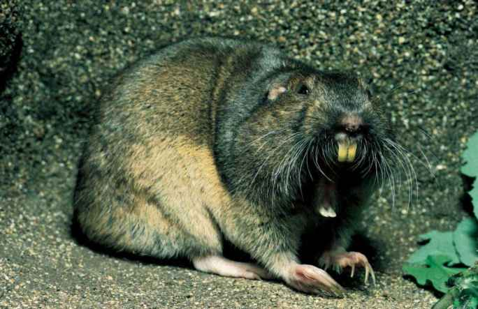 Pocket Gopher Yawning