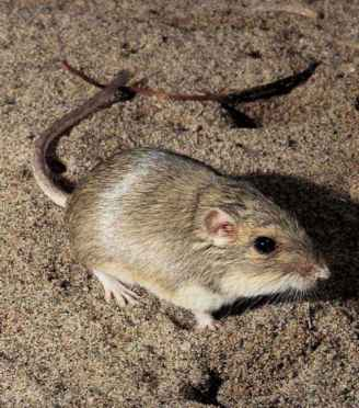 Pacific Pocket Mouse Pictures