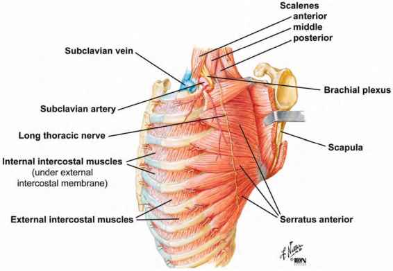 External Intercostal Muscle