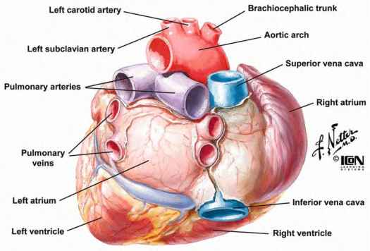 Heart Human Posteriorly